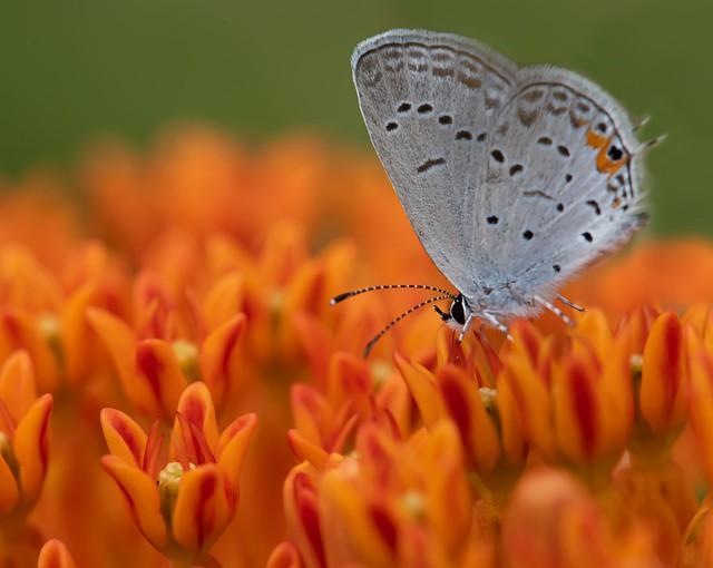 Small Blue Butterfly on Butterfly Milkweed