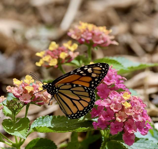 Monarch 6/20/21