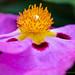 Cistus × purpureus (II), 4.9.18