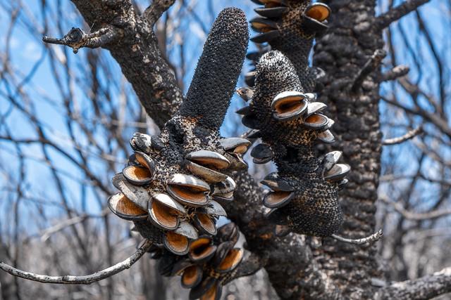 Burnt Coast Banksia