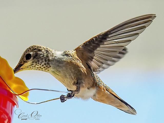 A happy hummingbird
