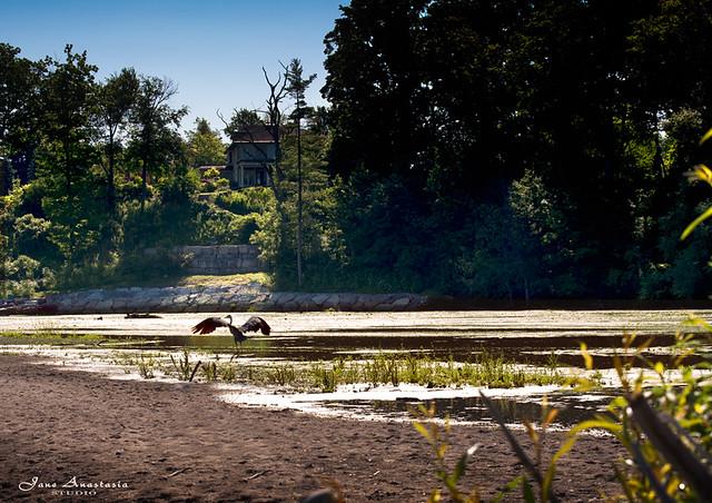 ...heron landing at a pond near the lake...