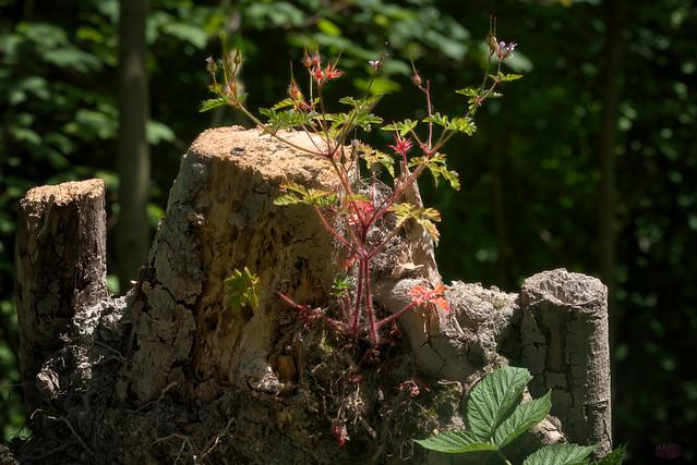 Reiherschnabel auf Baumstumpf