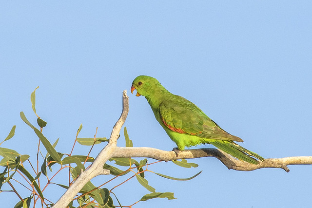lagoon creek - red-winged parrot