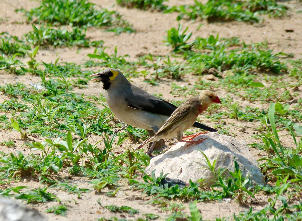 Red-billed Quelea (Quelea quelea) female and Wattled Starling (Creatophora cinerea) male ...