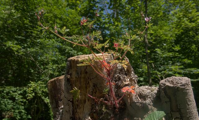 Reiherschnabel auf Baumstumpf 2