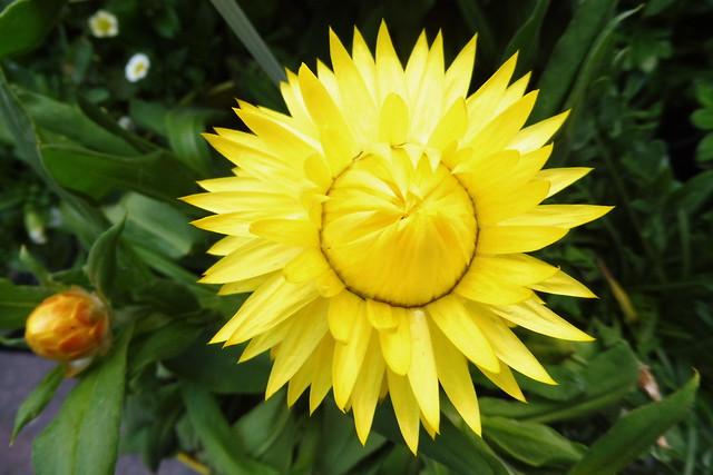 2021-06-22 Strohblume gelb