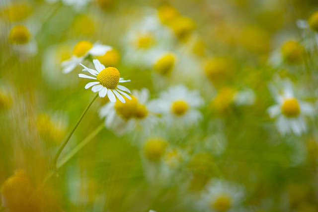 A field of chamomile blossoms