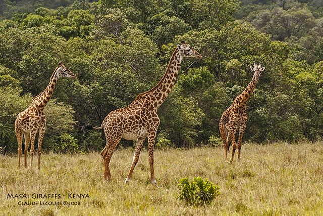 Masai_Giraffe_WEB_6546
