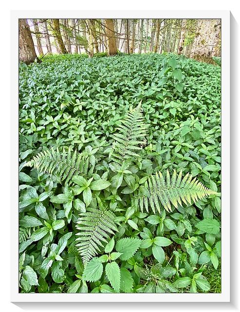 Britain's ferns!