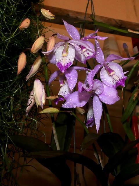 Barkeria spectabilis species orchid 6-21