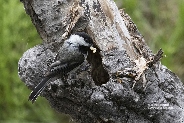 Black-capped Chickadee with food, at nest entrance