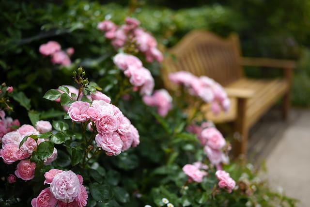 Rose 86