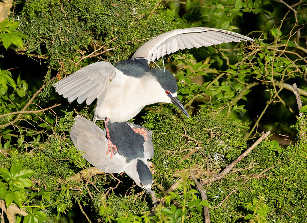 All Night Heron Long