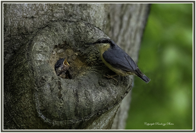 Nuthatch-Sitta europaea feeds chicks at nest site.