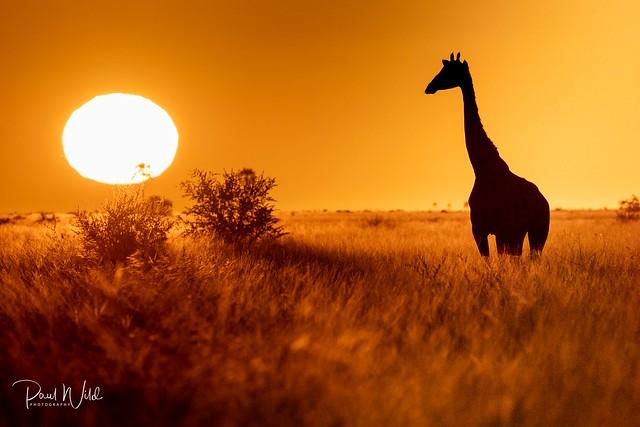 A Giraffe at Sunrise
