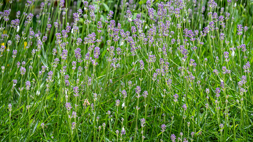 lavender and cuckoo-spit