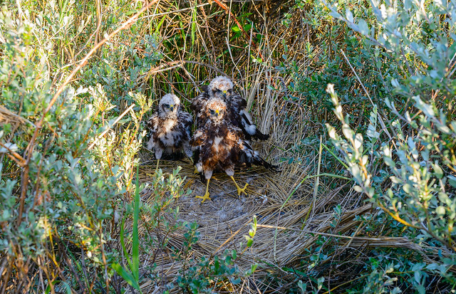 vlieland young adult marsh harriers