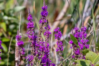 Projects: Purple Looseleaf