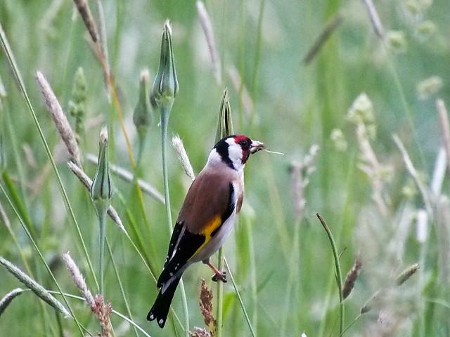 European goldfinch, Carduelis carduelis, Tikli