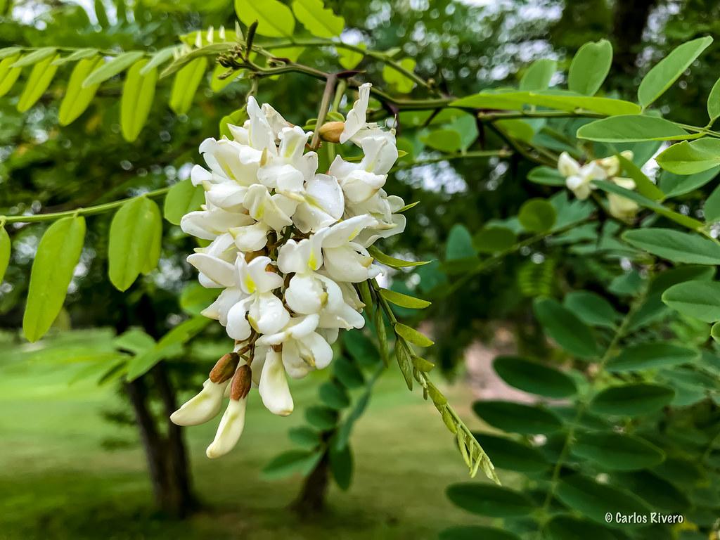 Flores de Acacia.