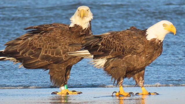 Eagles on the Beach