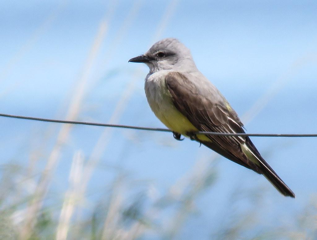 04 Western Kingbird / Tyrannus verticalis
