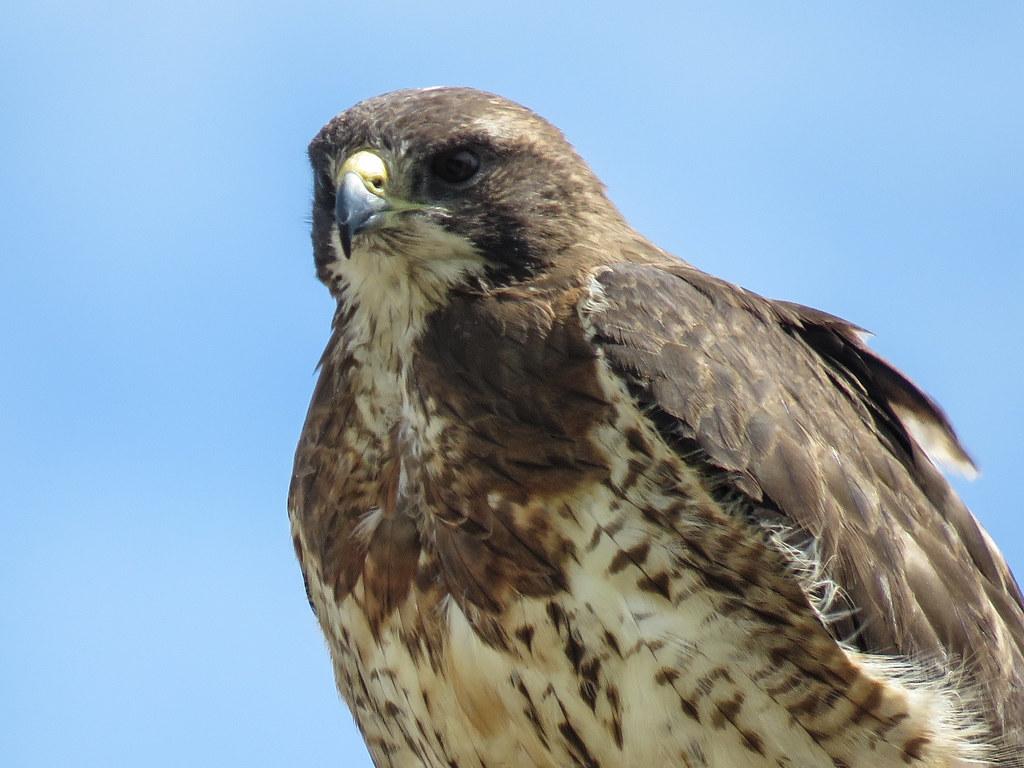 02 Swainson's Hawk / Buteo swainsoni