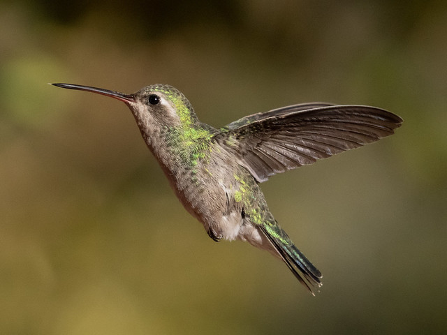 female broad-billed hummingbird