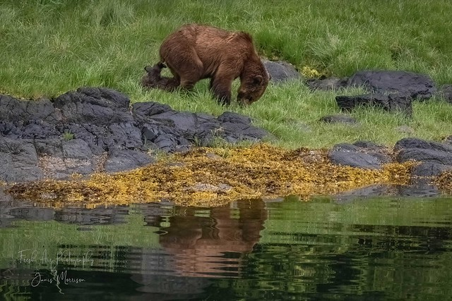 Grizzly Bear Cub wanting to play with it's mom.