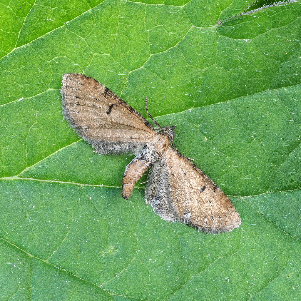 Wormwood Pug Eupithecia absinthiata