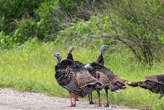Choke Canyon Turkeys-9673