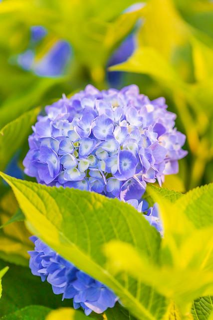 Hydrangea (Ajisai) flower atYume no Hiroba (Odaiba)
