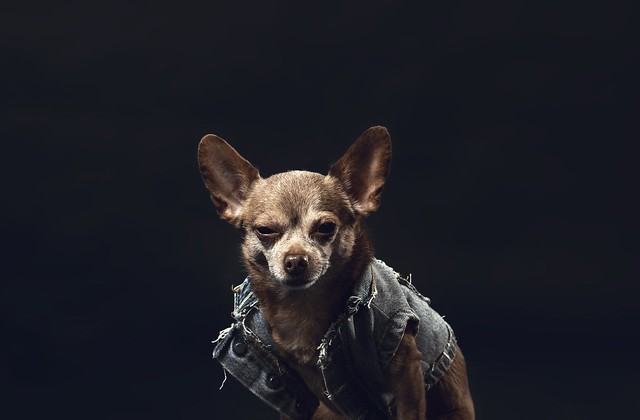 a-greying-chihuahua-in-a-denim-jacket