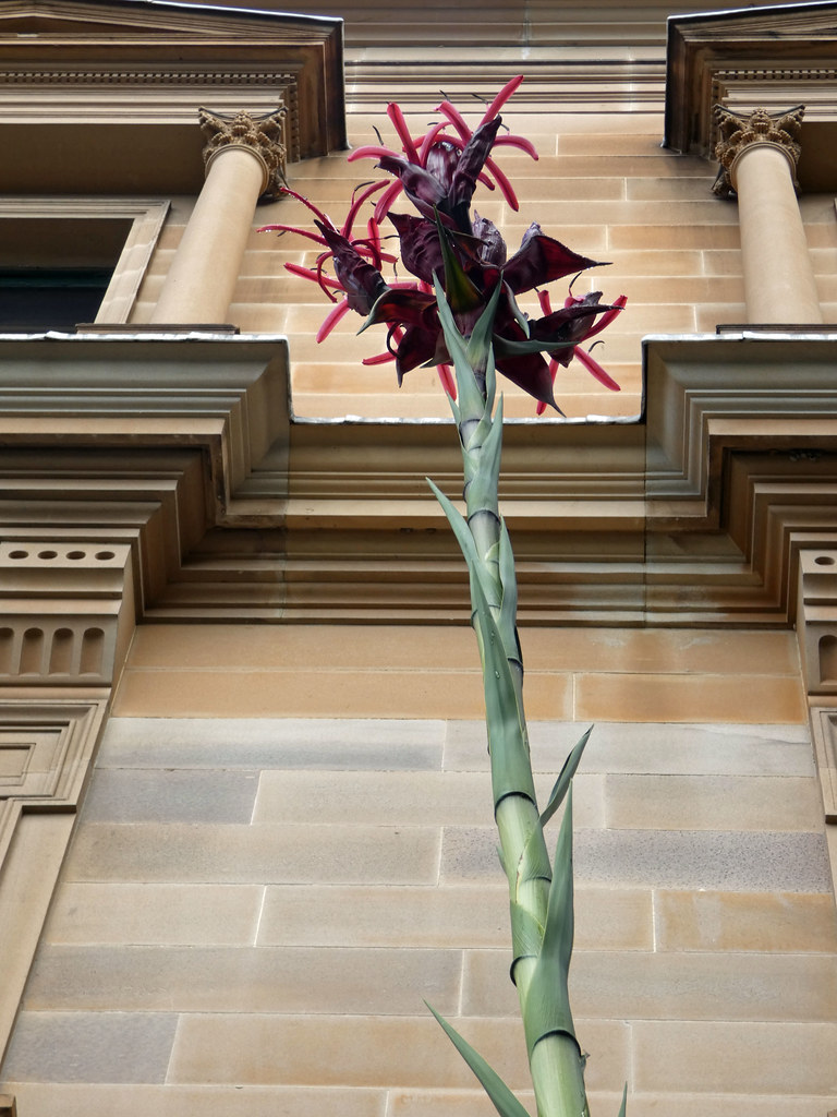 20210524_0259 Gymea Lily at the Museum