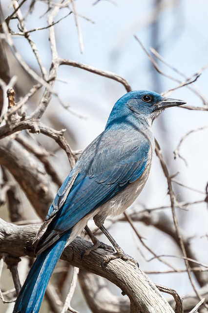 Mexican Jay