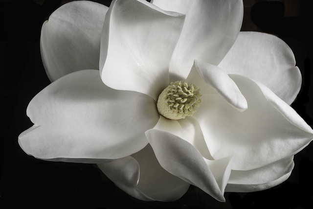Magnolia Flower Shapes And Shadows