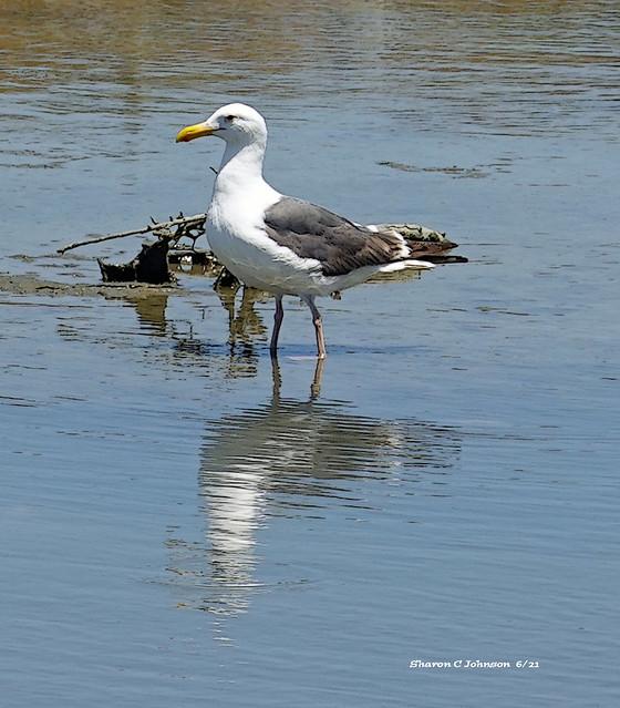 Western Gull Breeding Male