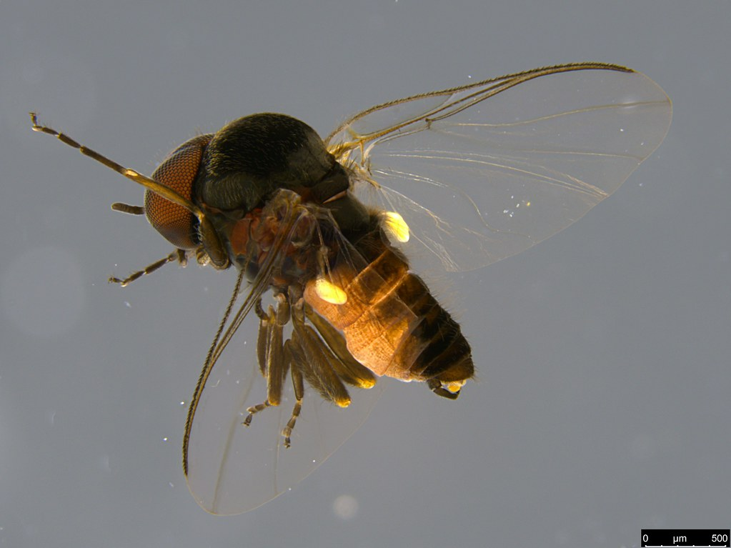 7a - Simuliidae sp.