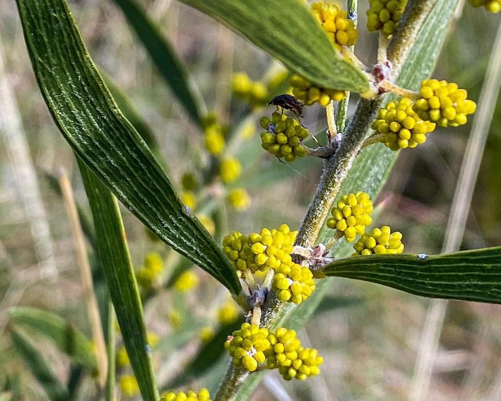 Woolly Wattle (Acacia lanigera)