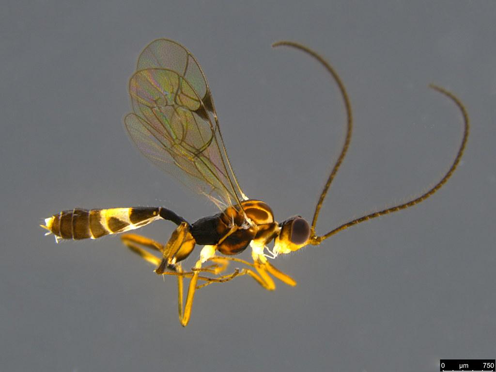 14b - Ichneumonidae sp.