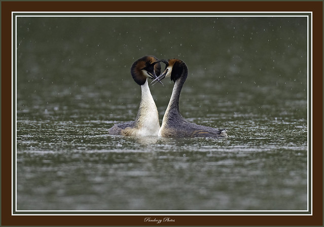 Great crested grebes -Podiceps cristatus.