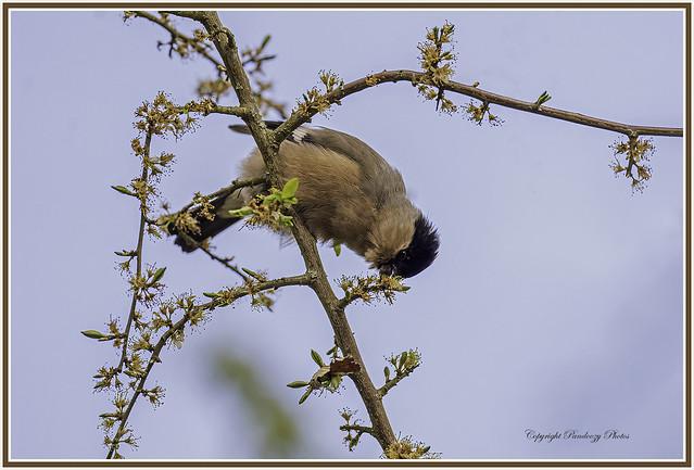 Female Bullfinch-Pyrrhula pyrrhula.