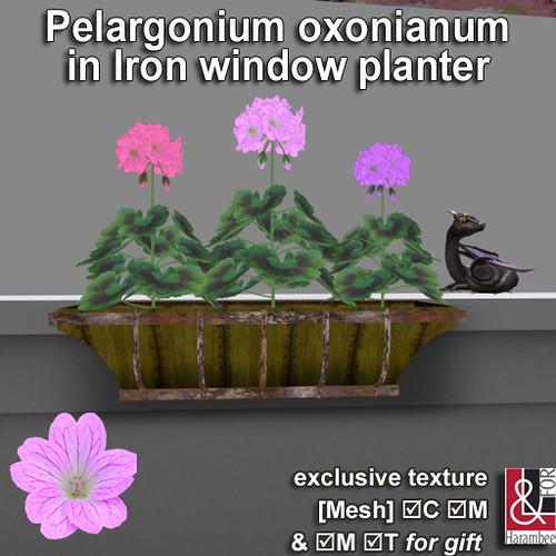 Pelargonium oxonianum in planter PIC