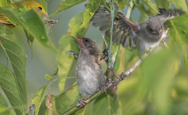 Paruline jaune/Yellow Warbler-PM5_6476
