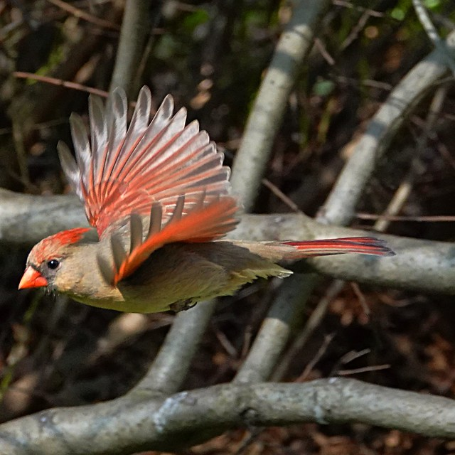 Northern Cardinal female at the Great Lawn.