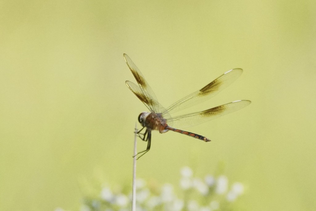Four-spotted Pennant - 210621