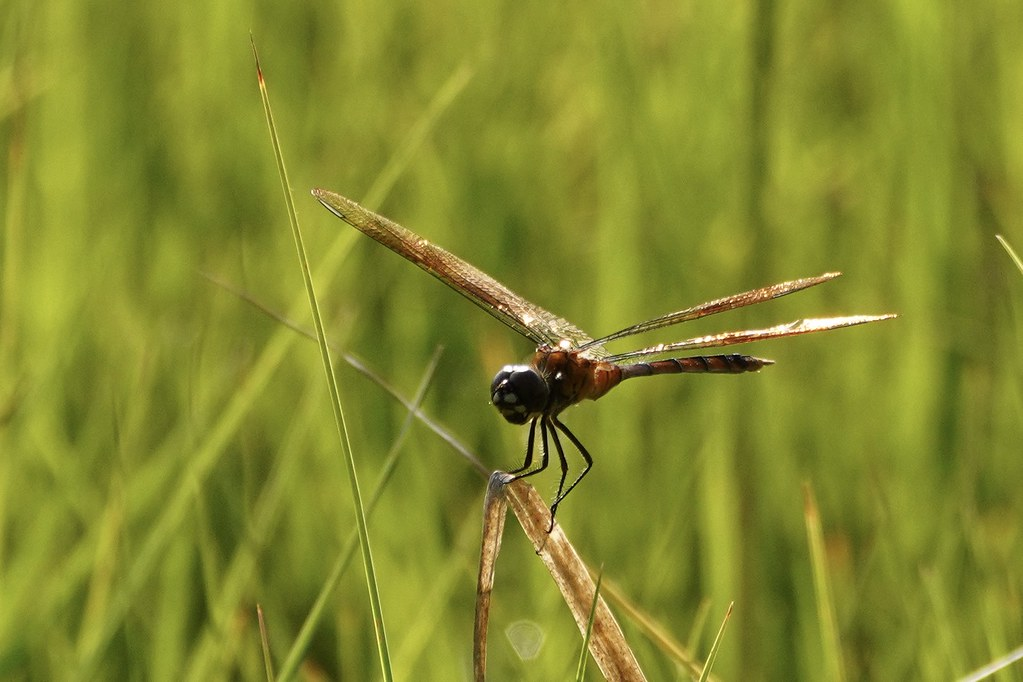 Four-spotted Pennant -a- 210621