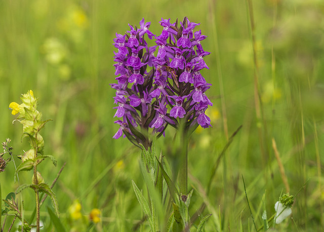 Southern Marsh Orchids