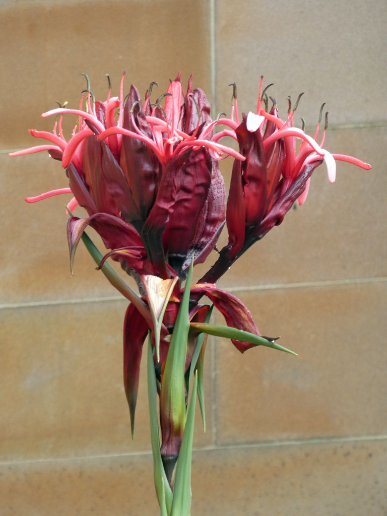 20210524_0258 Gymea Lily - Doryanthes excelsa
